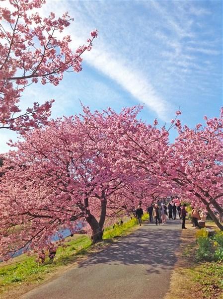 2017桜まつり5.jpg